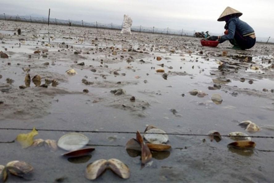 Quảng Ninh: Hàng chục héc ta ngao, nghêu chết trắng