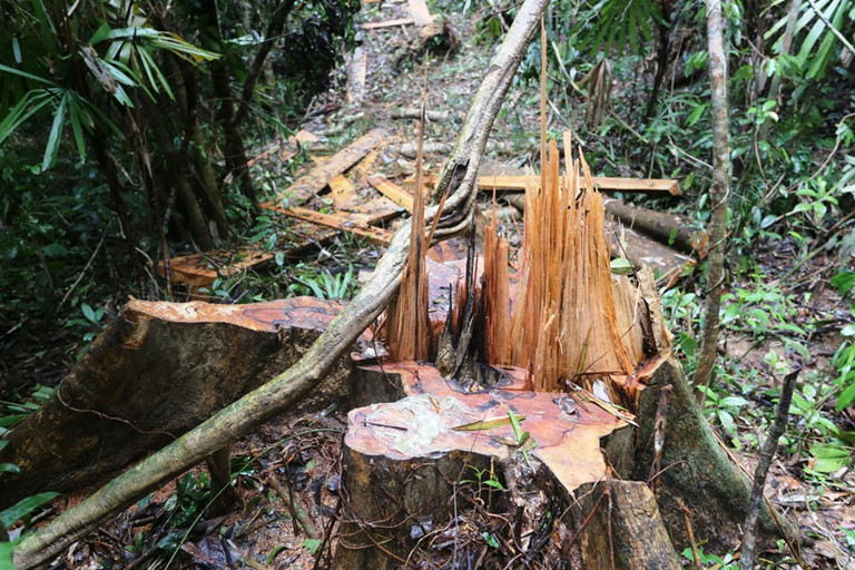 Quảng Nam: Hàng chục ha rừng tự nhiên bị chặt hạ công khai